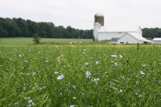 E. Blue flax flowers in the foreground, yellow canola flowers peeking through, and the 200-year old barn in the background. Credit: Liz Kolbe