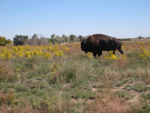 Bison have been reintroduced back onto the Refuge. (Photo by Ariana Brocious, NET News)