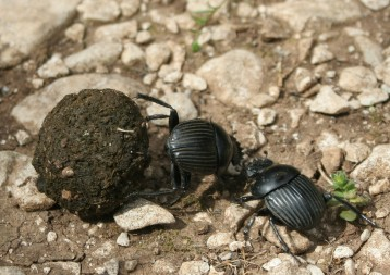 Dung beetles need the stars to navigate as they roll their smelly treasures homeward.
