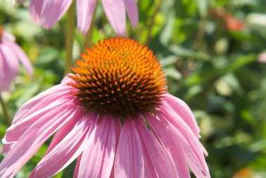 Purple Coneflowers, also known as Echinacea, are an attractive plant for a rain garden but watch out for deer, who love to munch them.  Photo credit: Flickr / Karen Blaha