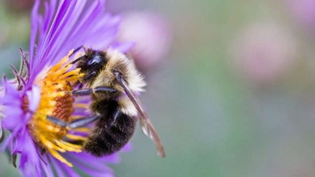 Citizen Scientists Gather Data on Urban Bees