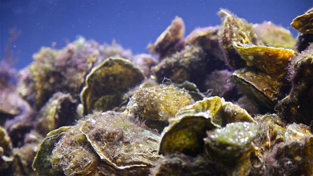 Restoring Oyster Reefs