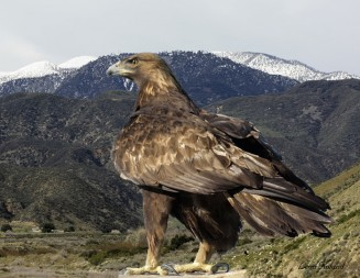 Golden eagles face a threat from lead bullets as well as wind turbines.  Photo courtesy Leon Roland.