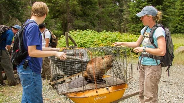 Putting Nuisance Beavers to Work
