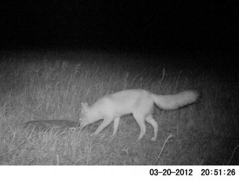 Thermal Fox