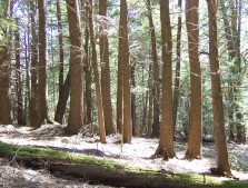 Eastern Hemlocks represents some of the oldest - and most threatened - trees in the country.  Photo courtesy: Harvard Forest