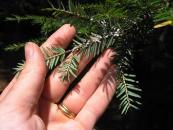 The wool-like secretions of the hemlock woolly adelgid are visible throughout most of the year, and are generally between 1/16th and 1/8th inch across. Courtesy: Maine.gov/dacf