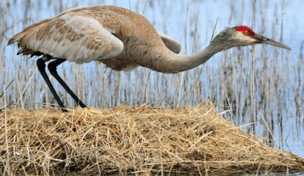 Sandhill Crane - US Fish and Wildlife Service
