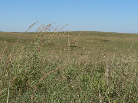 Big Bluestem prairie grasses.