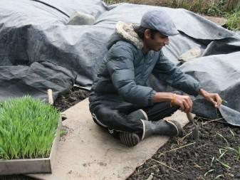 Sri Lankan agricultural official Sanjana Silva plants barley seedlings at a test plot in Mendocino, CA.