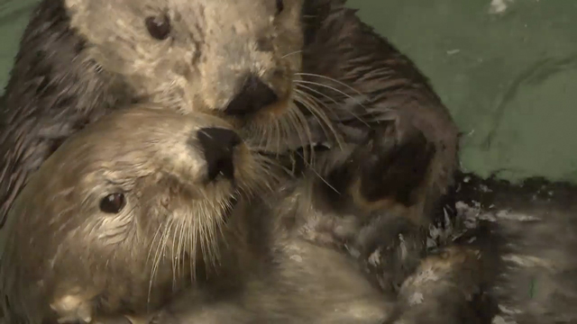 Image of: Iucn Portals Sea Otters V Climate Change Quest Kqed Science
