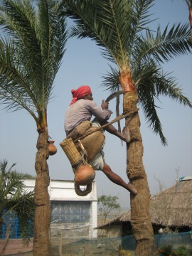 Sap collectors slice into date palm trees with machetes, then hang clay pots to catch the sweet syrup that drips out. Bats drinking from the pot can contaminate the sap with Nipah virus. Photo courtesy of Micah Hahn.