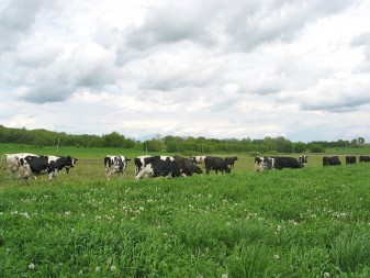 Grazing in the pasture.  Photo courtesy of UW-Madison Center for Integrated Agricultural Systems. Photographer: Ruth McNair