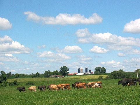 Cows grazing in the field on a summer day. Photo courtesy of UW-Madison Center for Integrated Agricultural Systems. Photographer: Ruth McNair