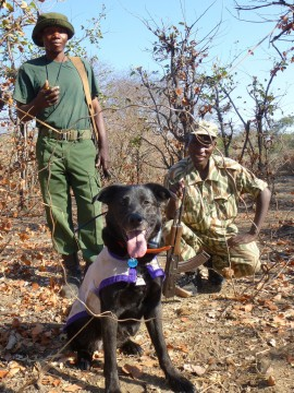 Wicket, one of WDC's most accomplished dogs, worked with local wildlife authorities in Zambia as part of the world's first wire snare detection and removal program. Photo by WDC