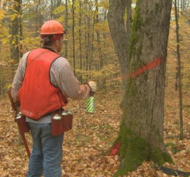 In the Menominee forest, trees are only marked for harvest if their removal will bolster the forest's health.