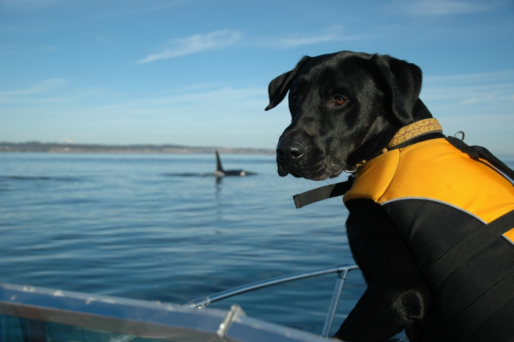 Tucker heads out to sea in search of orca poop. Photo courtesy of Center for Whale Research