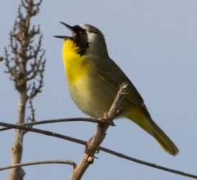 A Common Yellowthroat perches on top of the Dike 14 Nature Preserve in Cleveland, Ohio, which is made up of repurposed dredge from the Cuyahoga River.