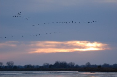 After spending the day eating and socializing in nearby fields and wetlands, cranes typically return to the Platte River at night to protect themselves from predators. Photo by Ariana Brocious, NET News.