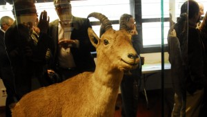 "The remains of the last Pyrenean ibex, a female named ""Celia,"" are in a museum in the Spanish town of Torla. Courtesy Government of Aragón."