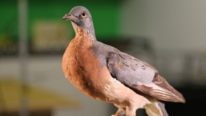 Passenger pigeon specimens, like this one from the Oakland Museum of California, are all that remains from what was once the most abundant bird in the world. Photo by Arwen Curry, QUEST Northern California.