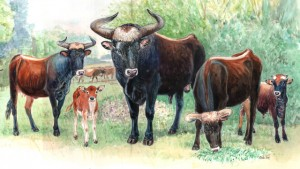 Aurochs, the ancestors of all modern cattle, disappeared from Europe in 1627. Illustration by Marleen Felius, Taurus Foundation.
