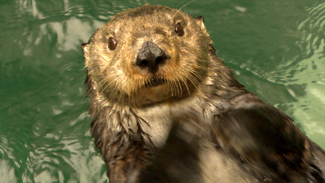 QUEST TV - Keeping it Cool: Sea Otters, New Cars and Old Forests