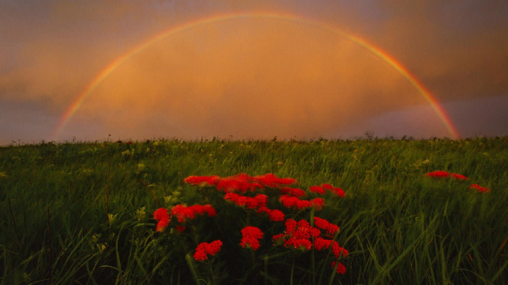 Rainbow and butterfly milkweed, Konza Prairie, Kansas