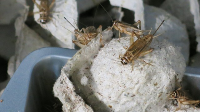 Local Farmer Sets His Sights on a New Crop: Crickets