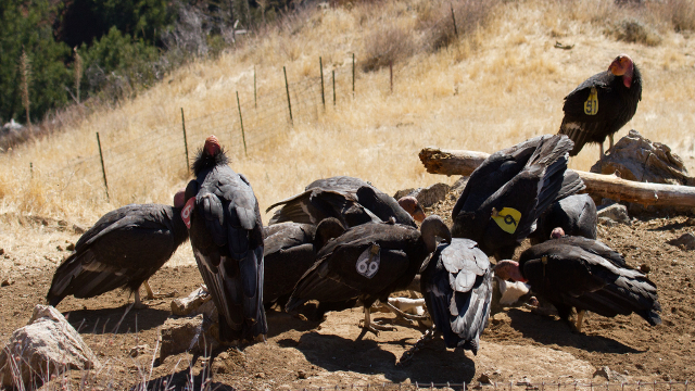 Condors can get lead poisoning when ingesting carcasses shot with lead bullets and left by hunters, ranchers or poachers. Image courtesy of Tim Huntington / Ventana Wilderness Society.