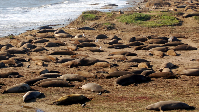 Northern elephant seals on the beach at Año Nuevo State Reserve on the San Mateo Coast. Photo by Amy Miller for KQED Science