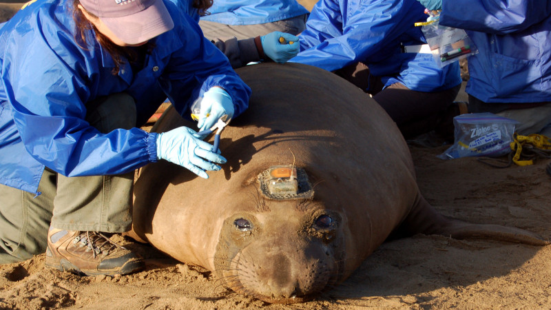 A student in Dan Costa's lab at UC Santa Cruz prepares to remove a satellite tag from a female elephant seal. Photo by Amy Miller for KQED Science