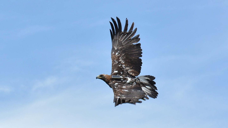 Wind Energy vs. Golden Eagles