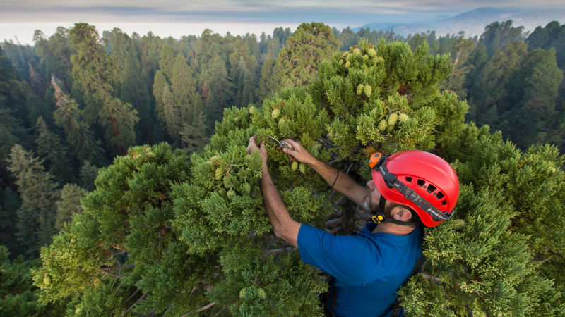 University of California, Berkeley, biologist Anthony Ambrose cuts leaves from the top of a giant sequoia in Sequoia National Park at daybreak on Sept. 2.