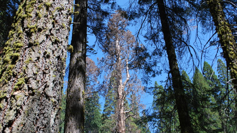 Half a dozen giant sequoias, like the one in the background, have died in Sequoia and Kings Canyon National Parks since the drought started in California four years ago.