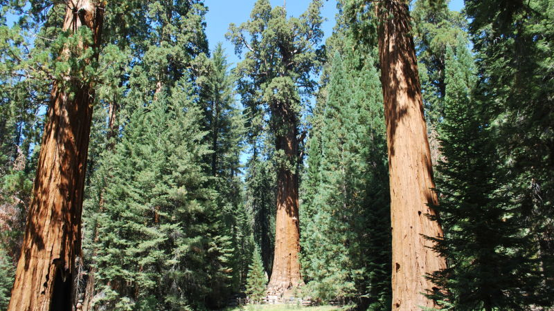 The General Sherman, in the middle, is billed as the largest tree in the world. If conditions for giant sequoias worsened in the future, Sequoia National Park officials might consider irrigating the General Sherman and other famous giant sequoias.