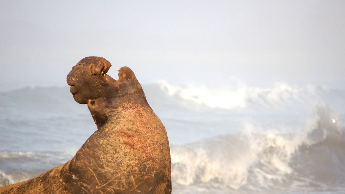 Into the Deep with Elephant Seals (updated)