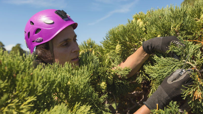 Biologist Wendy Baxter and a colleague from the University of California, Berkeley, climbed 50 giant sequoias in Sequoia National Park in August and September to get a sense of whether the trees were having trouble transporting water to their treetops.
