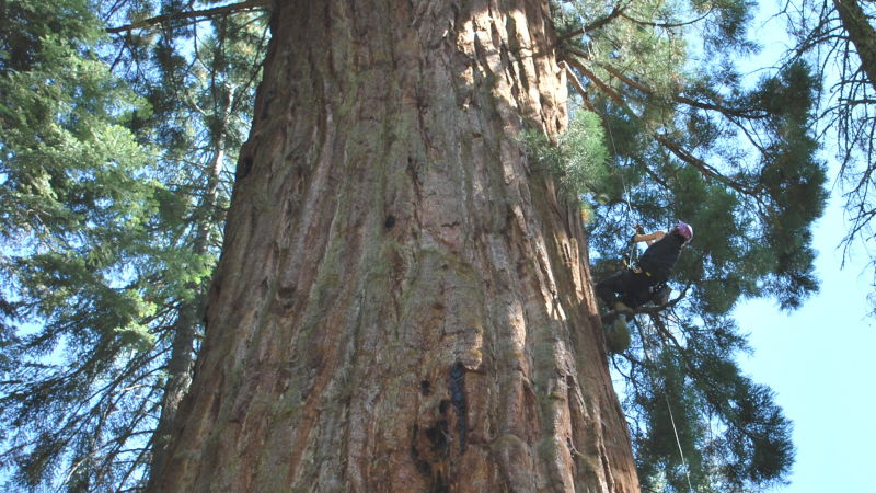 Biologist Wendy Baxter, of the University of California, Berkeley, climbed a giant sequoia in September. She used a simple rig that allowed her to hoist herself up on a rope while hardly touching the bark.