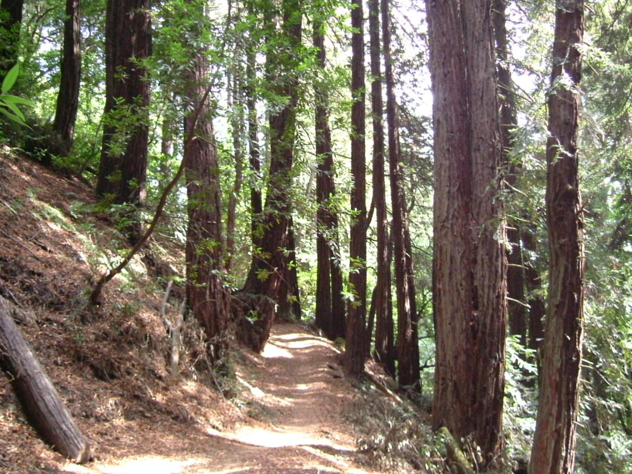 Redwoods in Redwoods Regional Park