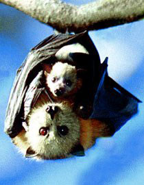Fur is Flying – Bay Area Bats* in peril