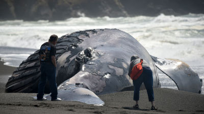 People inspect a dead humpback whale in Pacifica May 05, 2015