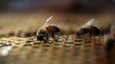 Honeybees in Florida