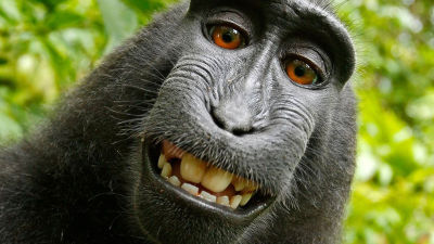Naruto the Macaque's selfie