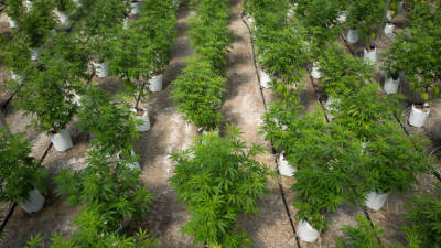 Rows of cannabis plants grow in the twenty thousand square foot greenhouse at Vireo Health's medical marijuana cultivation facility,