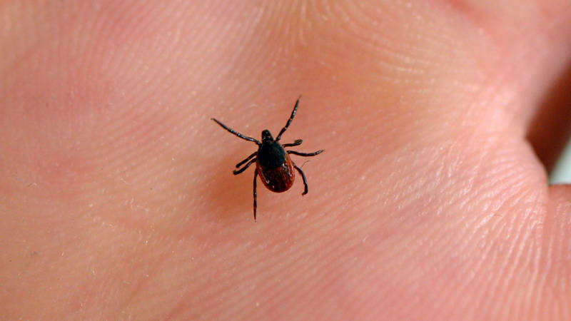 Lyme Disease on the Rise in Northern California