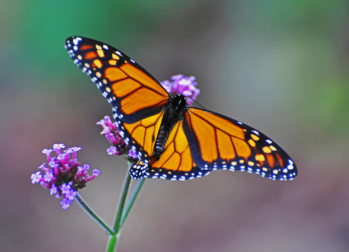 California Monarch Butterfly Population at Lowest Numbers Ever Recorded