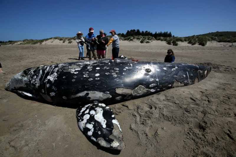 Why Are so Many Gray Whales Washing up Dead in California?