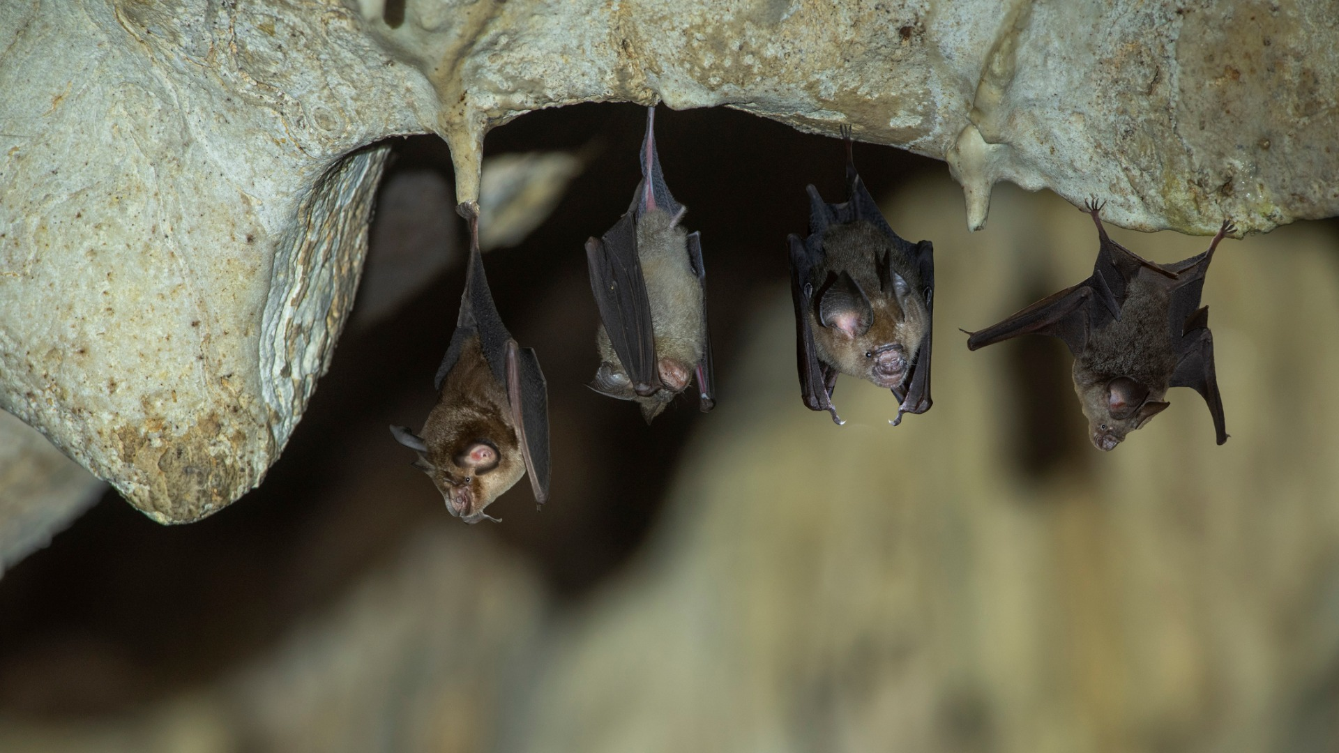 Fungus Deadly to Bats Found in California