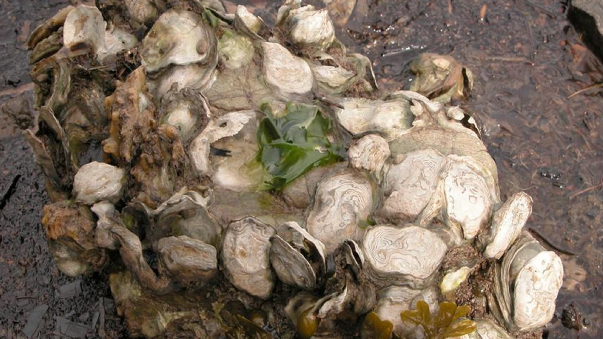 Climate Change May Shrink Northern California Oyster Habitat